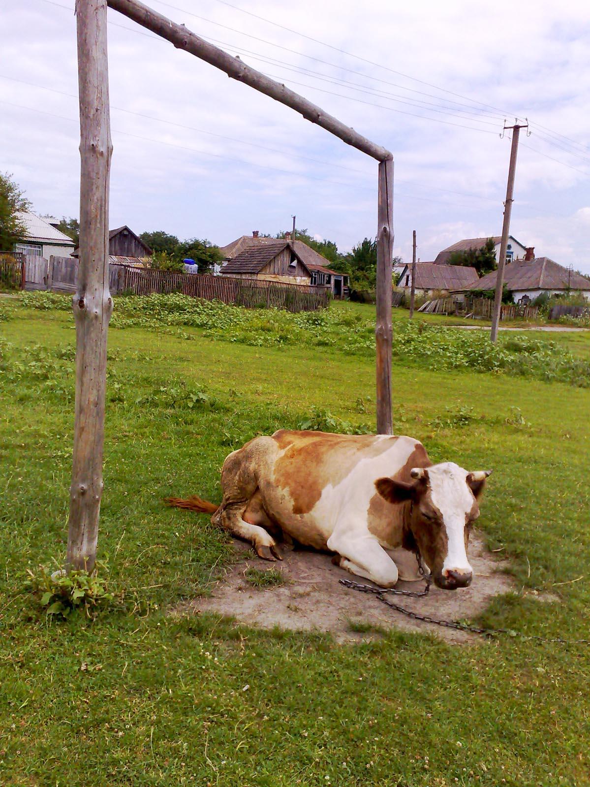 корова спит Зверюшки