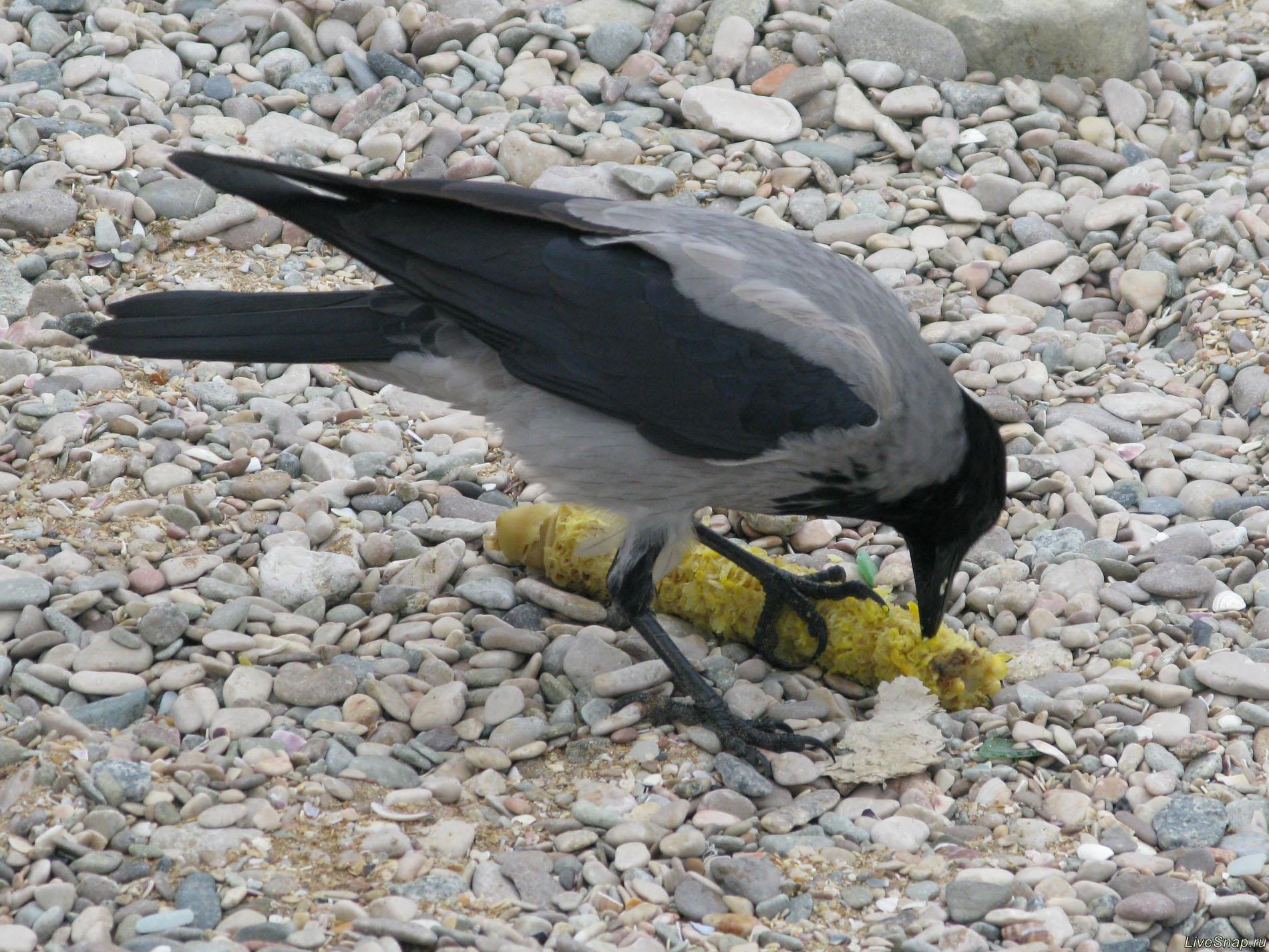 ворона ест кукурузу  Зверюшки
