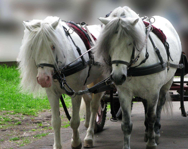 две лошади тянут  Зверюшки