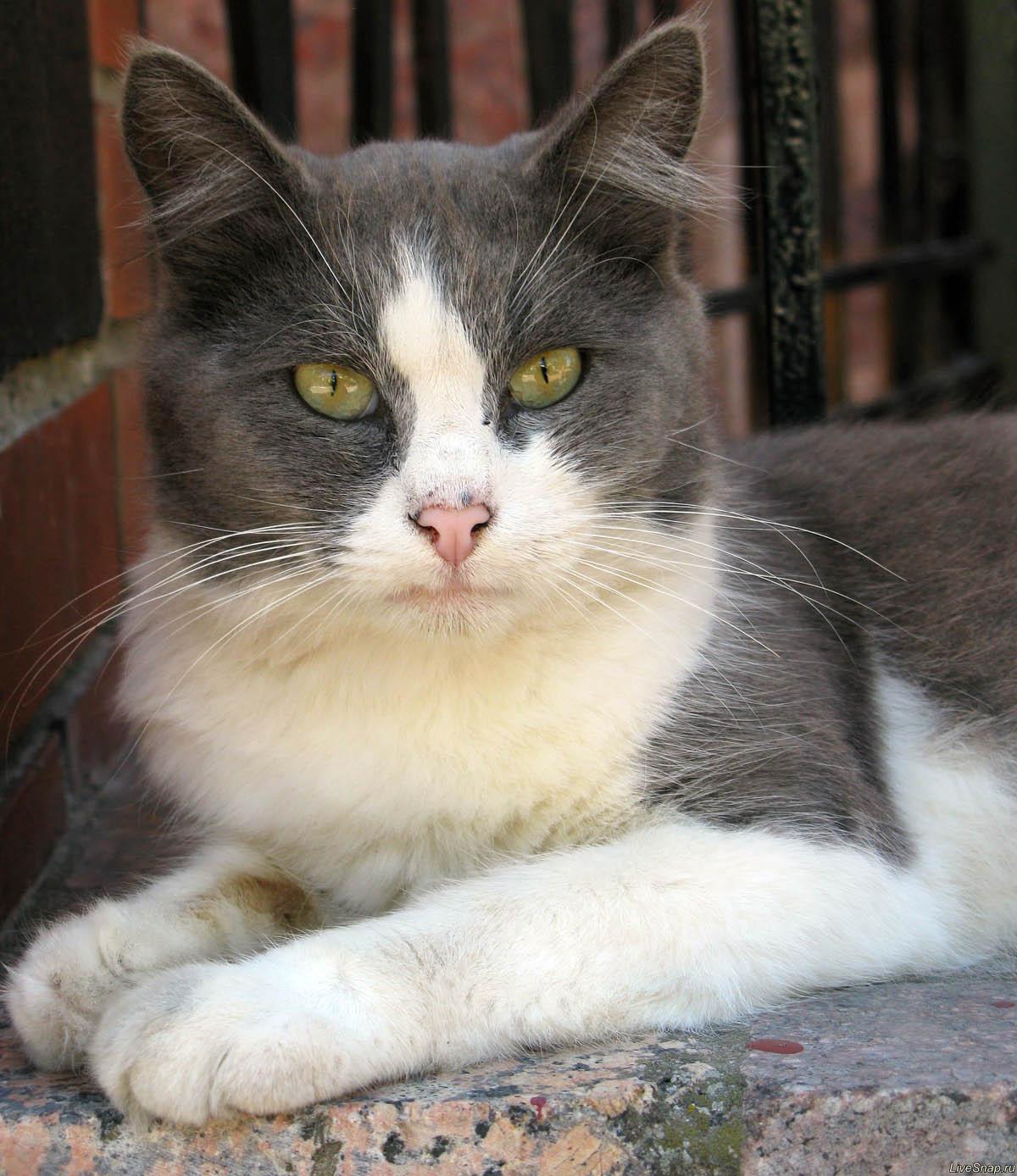 черно-белый кот  Зверюшки