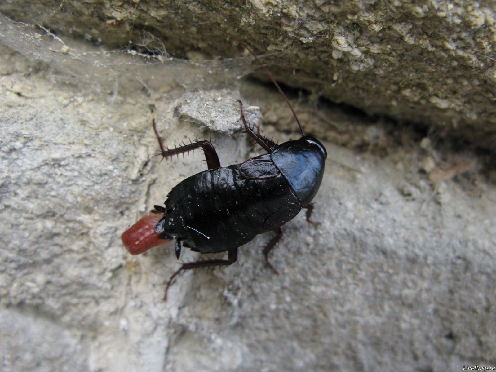черный жук  Зверюшки