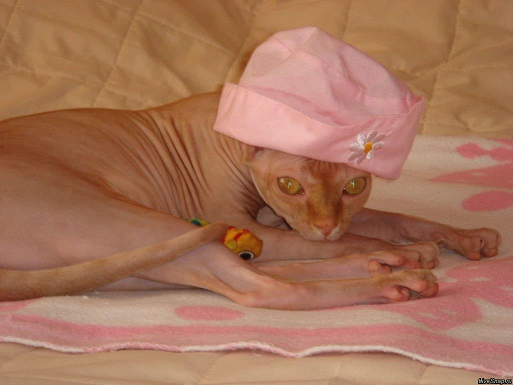 кошка сфинкс  Зверюшки