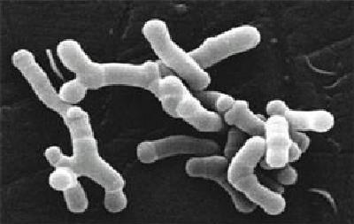 Бифидобактерии